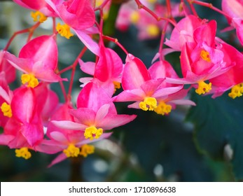 Pink Angel Wing Begonia Floral Cluster Closeup