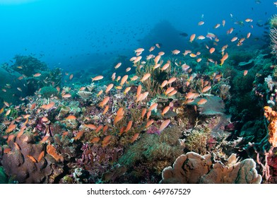Pink anthias with yellow tails fill the reef with color.