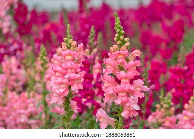 Pink antirrhinum or dragon flowers or snapdragons in the outdoors. Pink flowers. Antirrhinum 'Pretty in Pink' is a fantastic new perennial snapdragon.
