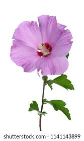 pink Aphrodite hibiscus flower on white