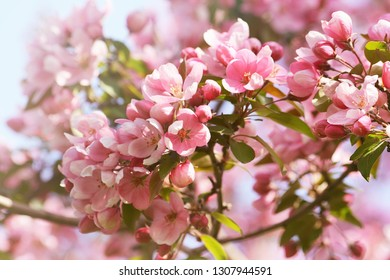 Pink apple blossom flowers against a blue sky