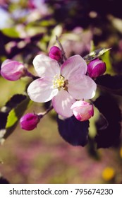Pink Apple Blossom in Spring Orchard