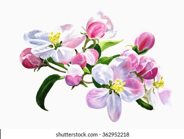 Pink apple Blossoms.  Watercolor painting, illustration style, of pink apple blossoms with a white background