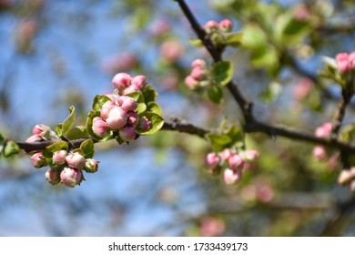 Pink apple tree flower buds on a twig