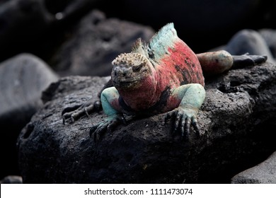 Pink and aqua marine iguana Galapagos South America
