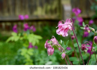 Pink aquilegia flowers covered in raindrops, with wet garden flower bed beyond