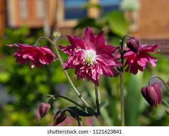 Pink Aquilegia -  granny's bonnet, columbine blooming in the garden.
