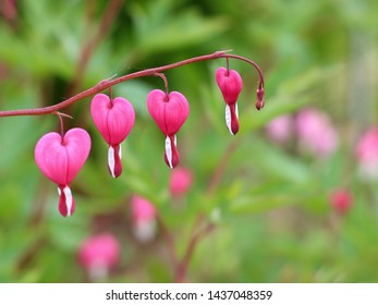 Pink Asian bleeding-heart (Lamprocapnos spectabilis) flowers or lyre flower or Lady-in-a-bath hanging in a line on blur natural background. Selective focus. Gentle spring background for card