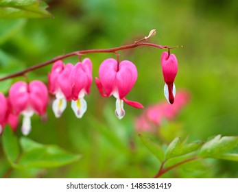 Pink Asian bleeding-heart 'Lamprocapnos spectabilis' flowers or lyre flower or Lady-in-a-bath hanging in a line on blur natural background. Selective focus
