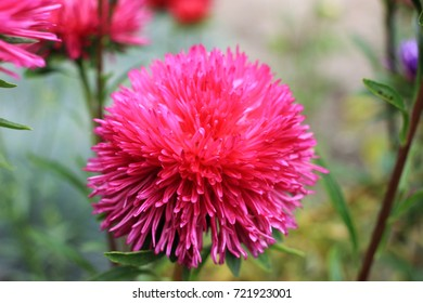 The pink aster.