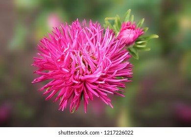 Pink Aster blooming in the flower garden. Large alpine aster growing in the flower bed. Background with colorful aster flower. Bright Aster in the summer garden as background card or wallpaper