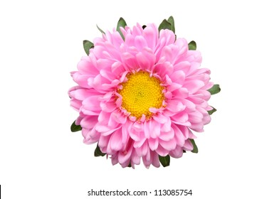 Pink aster daisy flower isolated against white