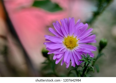 Pink aster flower on pink andgrey background.