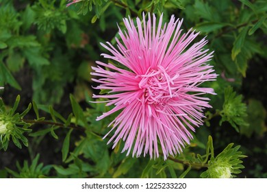 Pink aster flower rejoices in summer. pink aster branches on an isolated green background