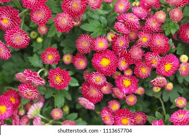 Pink aster flowers (Asteraceae), Beautiful Chinese Aster in garden