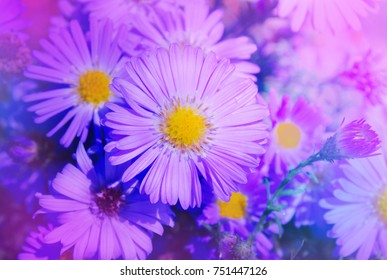 Pink aster growing in the flowerbed. Large gentle  pink aster on a green background. Background with pink asters. Aster in the summer garden
