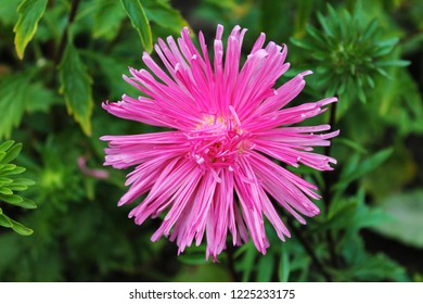 the pink aster smiles at the sun. Aster flower on an isolated background