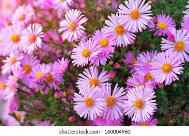 Pink asters growing in the park. Beautiful pink flowers