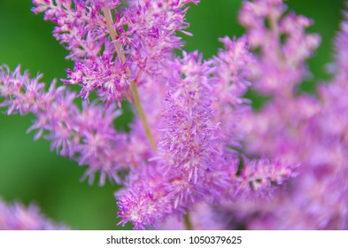 pink astilbe flowers in the garden macro