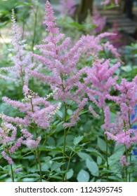 Pink astilbe plumes, flowers