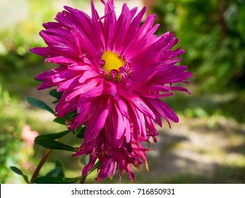 Pink Astra flower close up