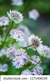 pink Astrantia flower