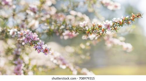 Pink Australian leptospermum flowers on a Spring background for condolences sympathy card backdrop