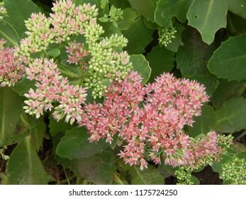 Pink autumn flowers sedum close-up