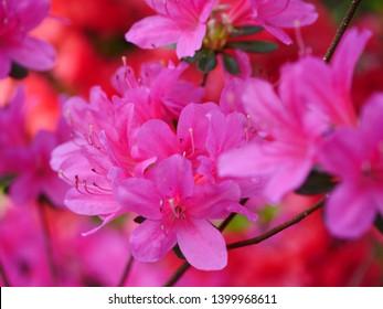 Pink azalea background. Pink azalea background.