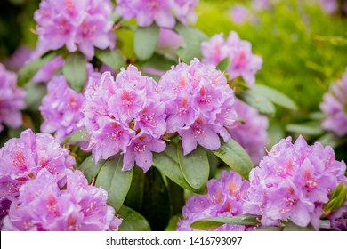 Pink azalea background. Pink azalea background.rhododendrons in flower pots in old greenhouse. Row of blooming plants indoors. Beautiful blossom flowers concept.Row of blooming Rhododendrons