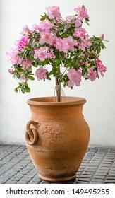 Pink Azalea in big clay vase