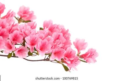 Pink azalea branch isolated on white