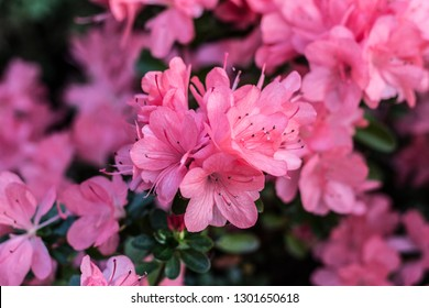Pink azalea bush  in greenhouse. Beautiful flowers.