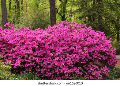 Pink azalea bushes (rhododendron) full of flowers with trees in background