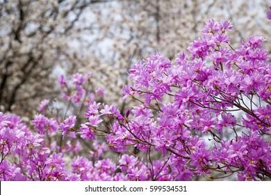 Pink azalea flower