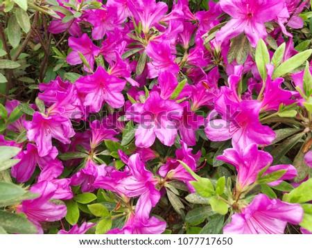 Pink Azalea Flower Blooming Azalea Rhododendron Stock Photo Edit