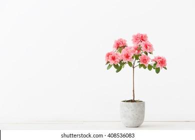Pink azalea flower in a concrete pot