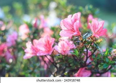 pink Azalea flower ,Azalea flower in the morning