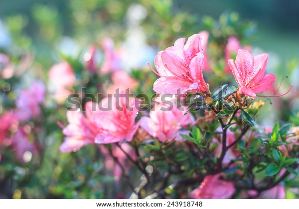 pink Azalea flower ,Azalea flower in the morning