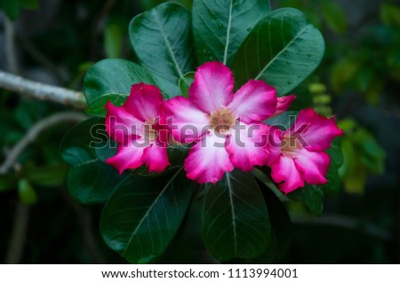pink azalea flower in