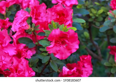 Pink azalea flowers in full bloom with green leaves on the bush. A beautiful tropical garden in spring. Rhododendron blooming season in April, May. Azalea flower festival. Rhododendron Family.