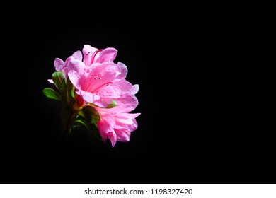 Pink azalea flowers isolated on black background with copy space