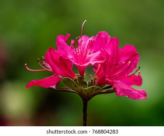 Pink Azalea Flowers on Stem with Green Background