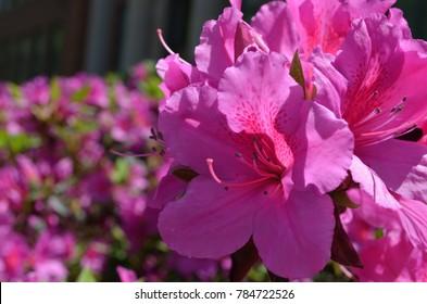 Pink Azalea garden