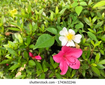 Pink azalea and white multiflora rose with green leaves for gardening and decoration ideas