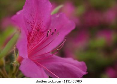 Pink Azaleas in bloom at Sam Houston Park in Houston, TX.