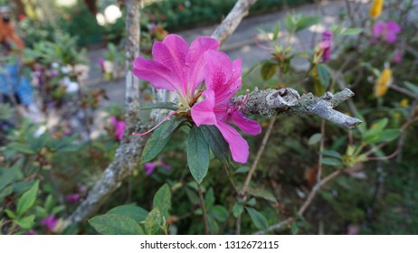 Pink Azaleas in a garden
