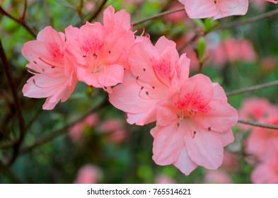 Pink Azaleas in Spring