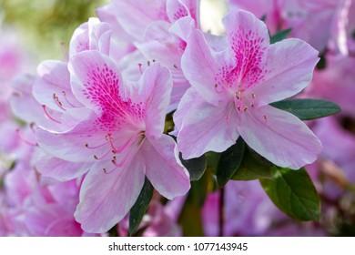 Pink Azleas in full bloom on Hilton Head Island in late March.
