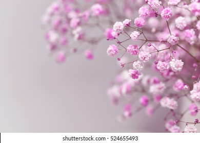 Pink baby's breath  with pink background.